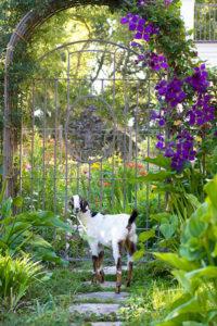 goat-by-garden