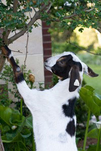 goat-in-tree