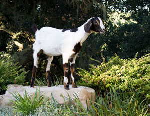 goat-on-rock
