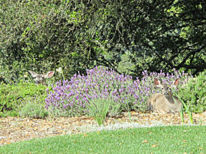 Deer-in-Lavender-3_sml