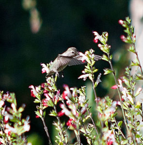 Hummingbird_2_sml