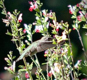 Hummingbird_4_sml