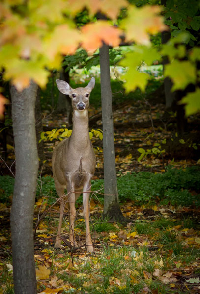 deer, fall