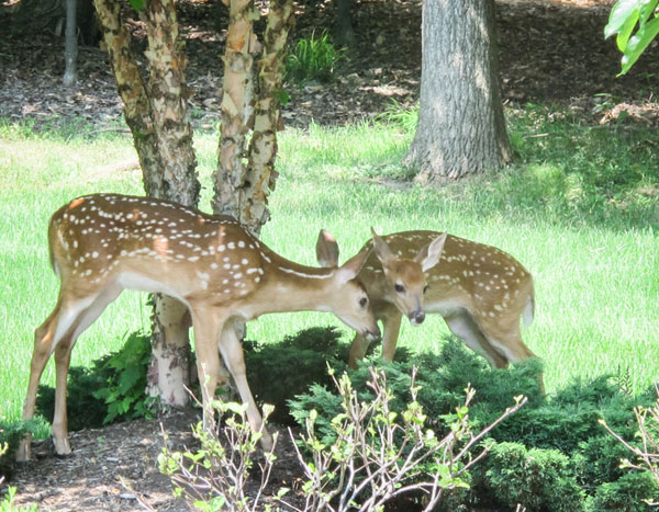 Fawns 1