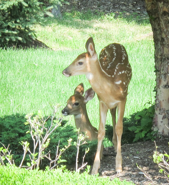 Fawns 5