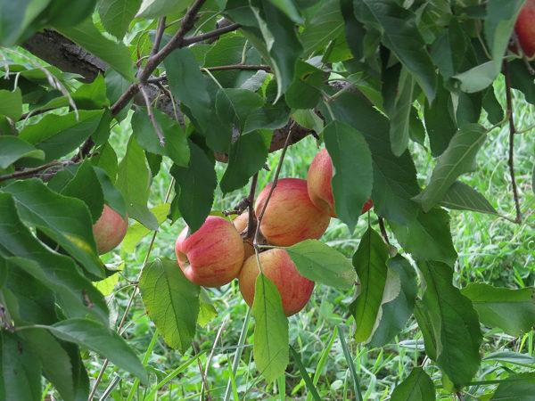 eddy-apples