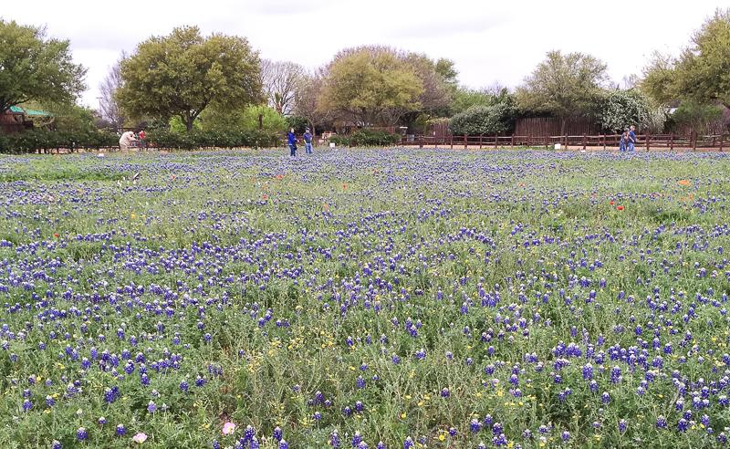 Widlflowers Wildseed Farms Texas