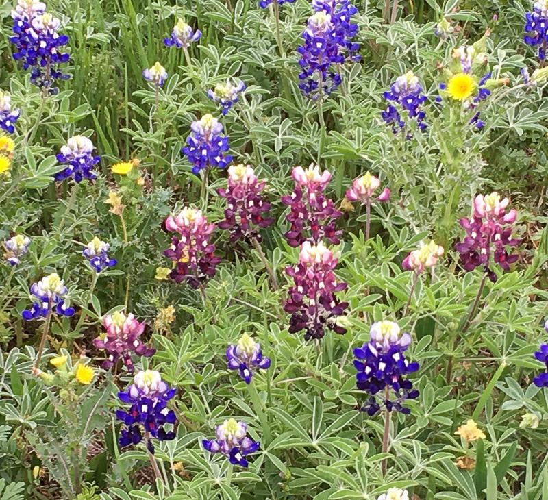Wildflowers Bluebonnets